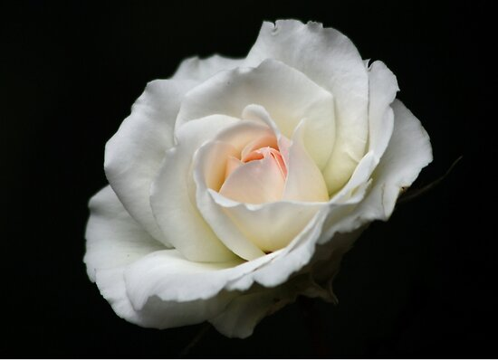 The White Rose with a Hint of Pink by AnnDixon
