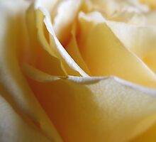 Yellow Rose...Macro by Diane Arndt