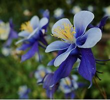 Purple aquilegia by Matthew Folley
