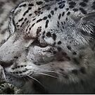 Snow leopard by Matthew Folley