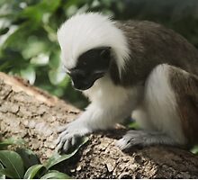 Cotton top tamarin by Matthew Folley