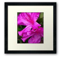 Purple Azalea II Framed Print