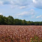 Field Of Cotton Balls by Cynthia48