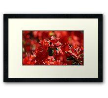 Wild Red Azalea's Framed Print