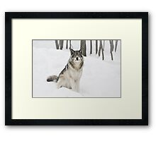 I Am Wolf - Timber  Wolf Framed Print