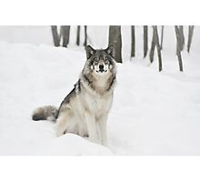 I Am Wolf - Timber  Wolf Photographic Print
