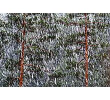 1.5.2014: Sleet and Pine Trees Photographic Print