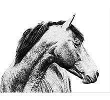 Young Morgan Stallion Portrait Photographic Print