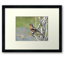 Chaffinch Song - Bluff - NZ Framed Print