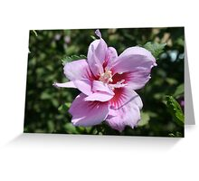 Double Headed Marsh Mallow Althaea Officinalis Greeting Card