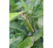 Green and Brown Dragonfly Holding On To Oleander Photographic Print
