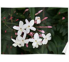 Delicate White Jasmine Blossom with Green Background Poster
