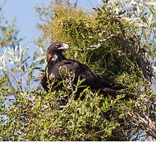 Wedge Tailed Eagle by mncphotography