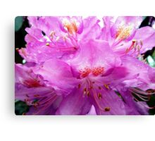 Beautiful Pink Rhododendron Pontica Canvas Print