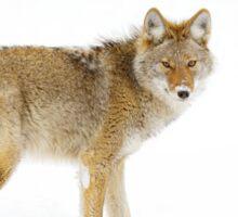 Coyote in Winter Sticker