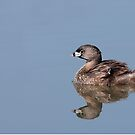 Pied-billed Grebe with chick by Jim Cumming