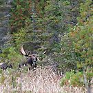Hidden Moose, Algonquin Park, Canada by Jim Cumming