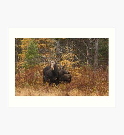 Moose - Algonquin Park, Canada Art Print