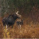 Moose and calf - Algonquin Park, Canada by Jim Cumming