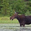 Canadian Moose, Algonquin Park, Canada by Jim Cumming
