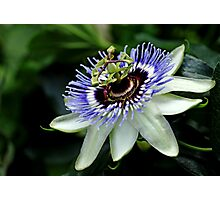 Blue Crown Passion Flower Photographic Print