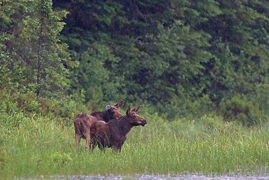 Summer moose in rain, Algonquin Park by Jim Cumming
