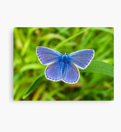 A male Common Blue butterfly Canvas Print