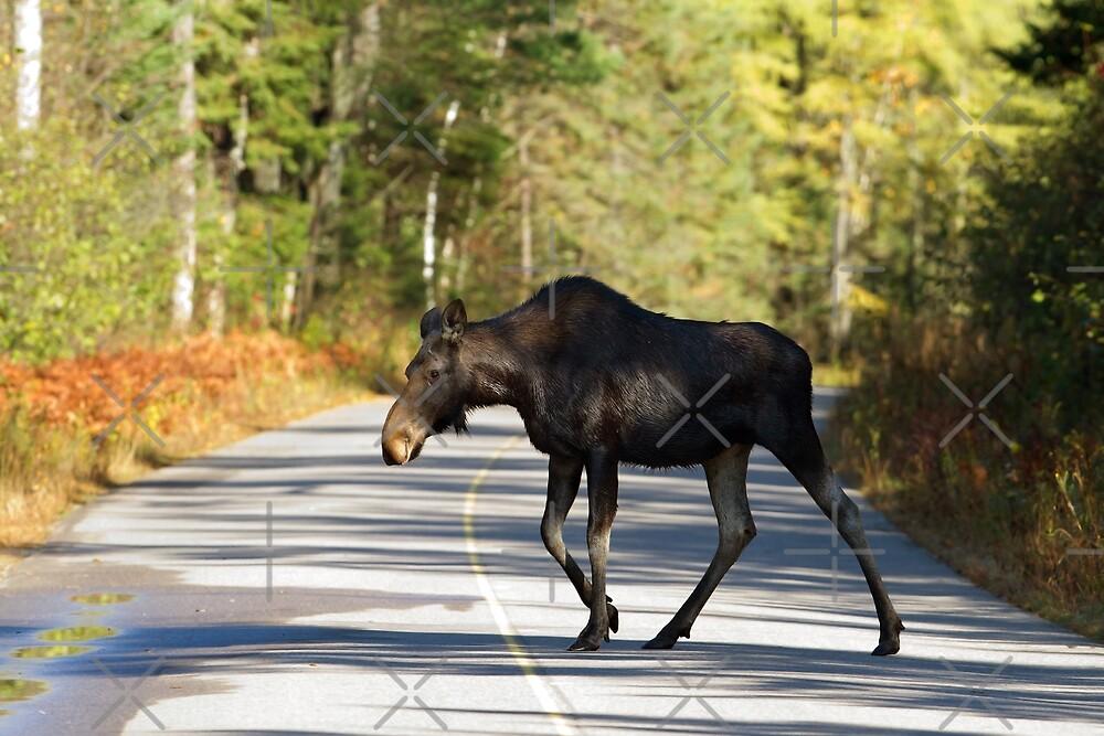 Jay Walking Moose - Algonquin Park, Canada by Jim Cumming