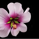 Hibiscus syriacus, Rose of Sharon by Heather Friedman