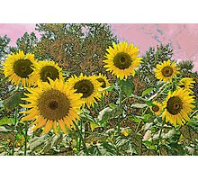 Pastel Sunflowers Photographic Print