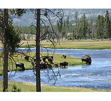 Buffalo on the Yellowstone River Photographic Print