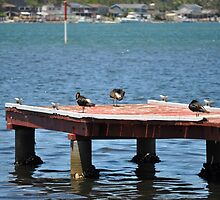 PIED OYSTER CATCHERS ON JETTY by David McDougall
