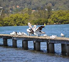 PELICANS AND SILVER GULLS ON JETTY by David McDougall