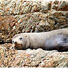 You Are Disturbing My Nap - Seal - Catlins - NZ by AndreaEL