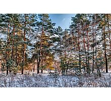 Winter pine forest Photographic Print