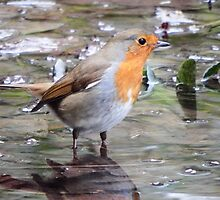 The Wading Robin by Deb Vincent