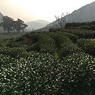 Longjing Tea Fields, Hangzhou, China by Simone Maynard
