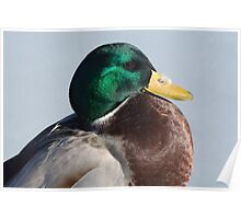Portrait of Mallard Duck Drake with feather Poster