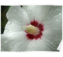 Rose of Sharon in Rain Poster