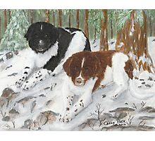 Landseer Newfoundland Dogs Cathy Peek Pines Snow Photographic Print