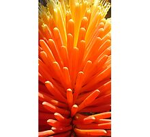 Hot Poker Up Close Photographic Print