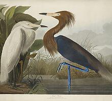 John James Audubon (Jean-Jacques Audubon) (– ), PURPLE HERON, FROM THE BIRDS OF AMERICA, by Adam Asar