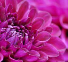 Purple dahlia flowers Sticker