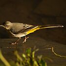 Grey wag-tail by Jon Lees