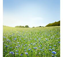 Cornflower field Photographic Print