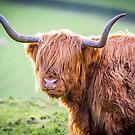 Highland Cow by David Bradbury
