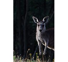 Dark Kangaroo Photographic Print