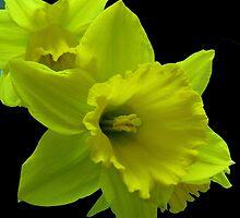 Daffodils Rejoicing by kathrynsgallery