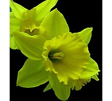 Daffodils Rejoicing Photographic Print