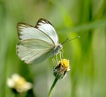 Great Southern White Butterfly by Heather Pickard